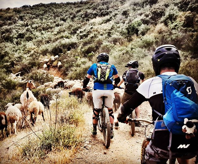 White Village Tour of Andalucia road blocked by goats
