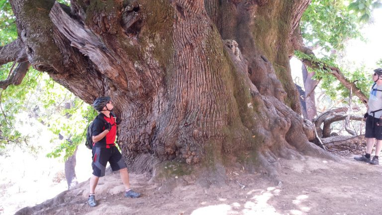 Serranía de Ronda client looking up to the enormous millenary Castaño Santo, the Holy Chestnut