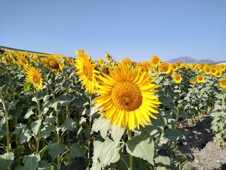 White Village Tour of Andalucia sunflower field