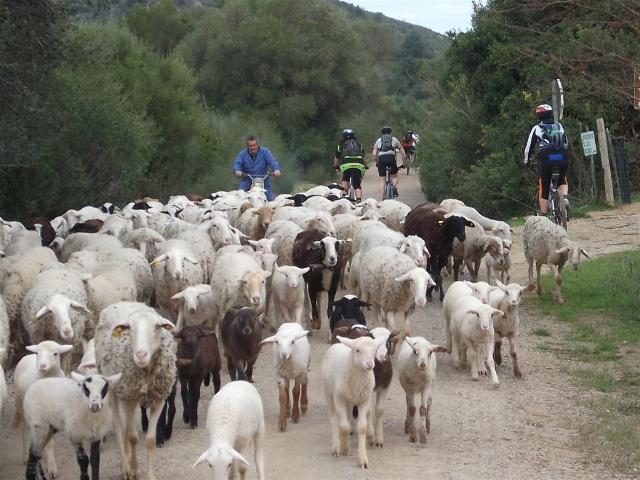Via Verde de la Sierra road blocked by big herd of sheep